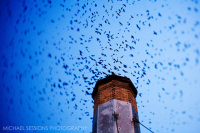 Swifts in Portland, Oregon